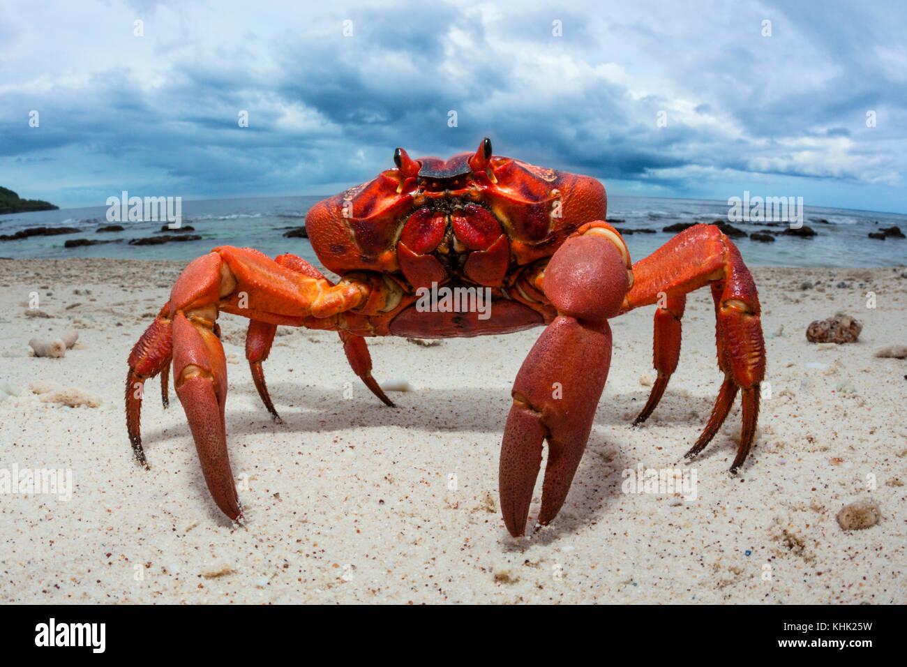 Christmas Island Red Crab at Ethel Beach, Gecarcoidea natalis, Christmas Island, Australia - Stock Image