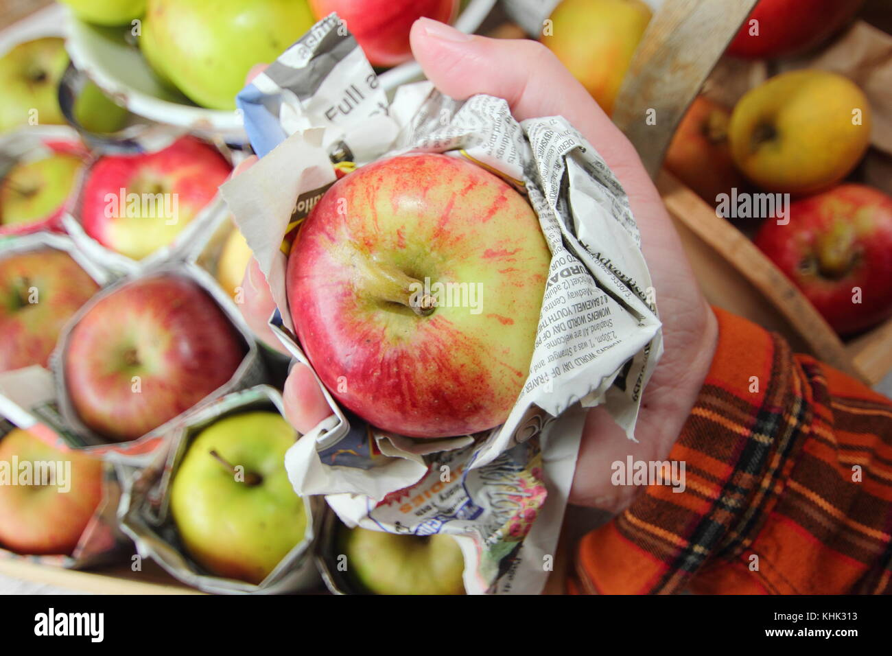 Fresh apples (malus domestica) individually wrapped in newspaper and stored in wooden tray to help prevent rotting - Stock Image
