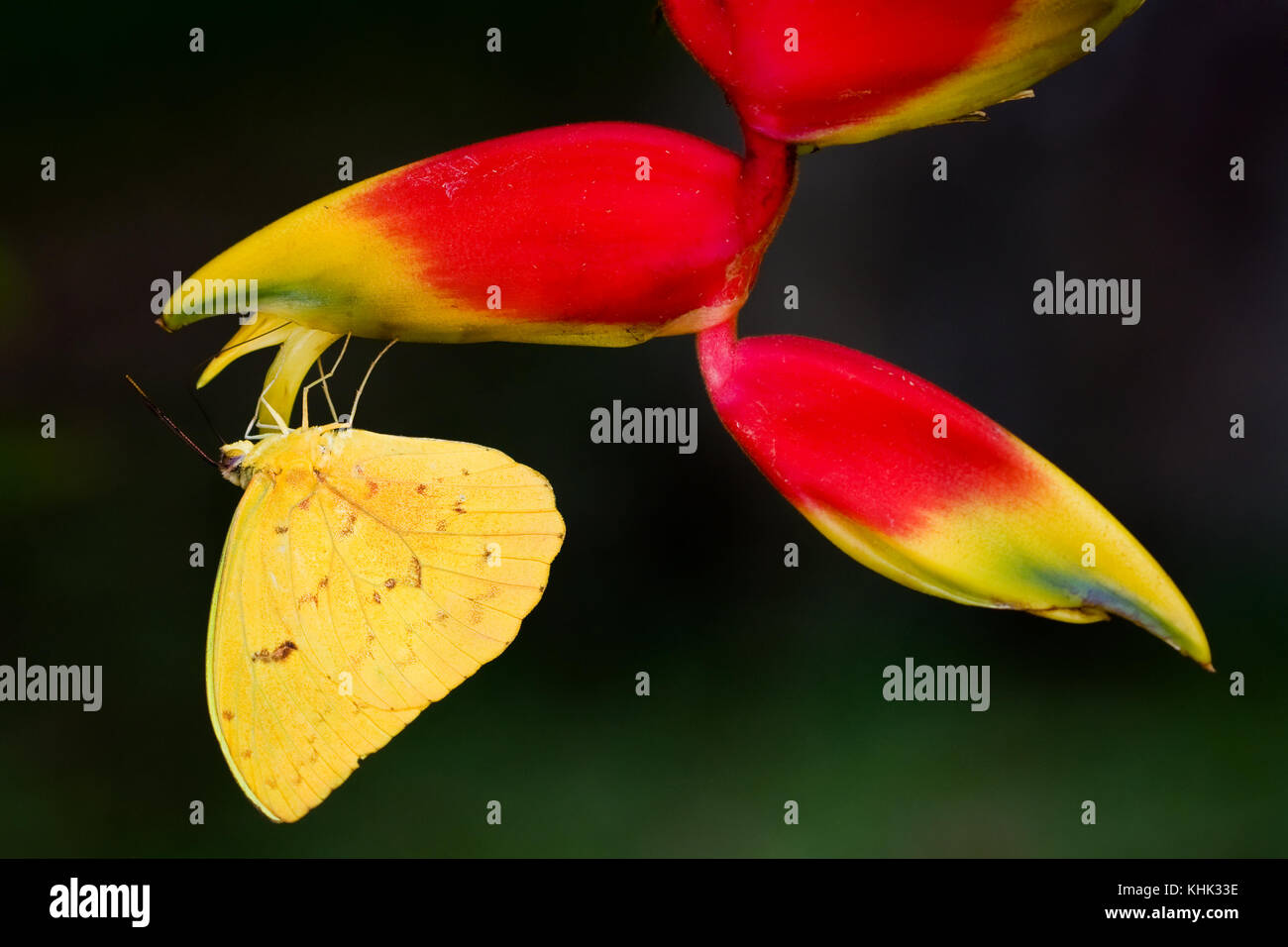 Yellow butterfly close-up sitting upside down on the hanging tropical flower Heliconia (Heliconia pendula) against - Stock Image
