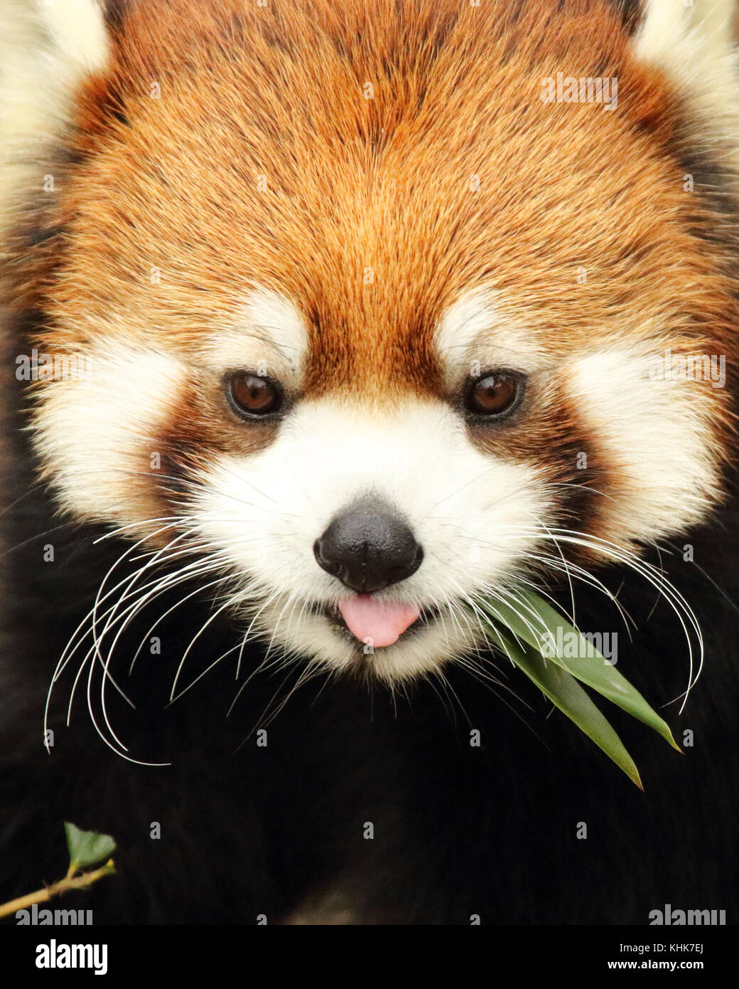 A Red panda giving a funny look while feeding. - Stock Image