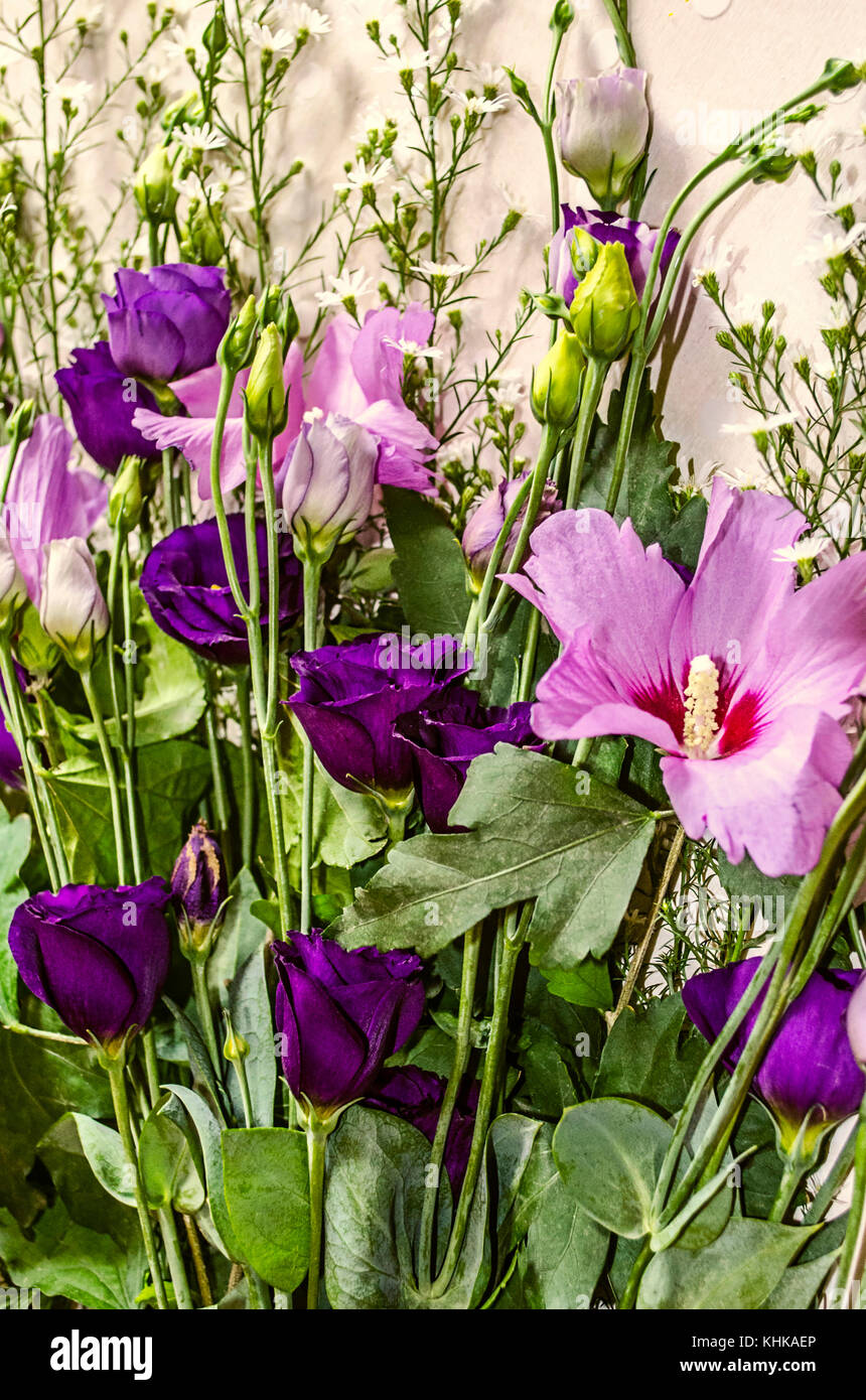 Fowers of purple hues of Hibiscus and Lisianthus framed by white small flowers of Gypsophila - Stock Image