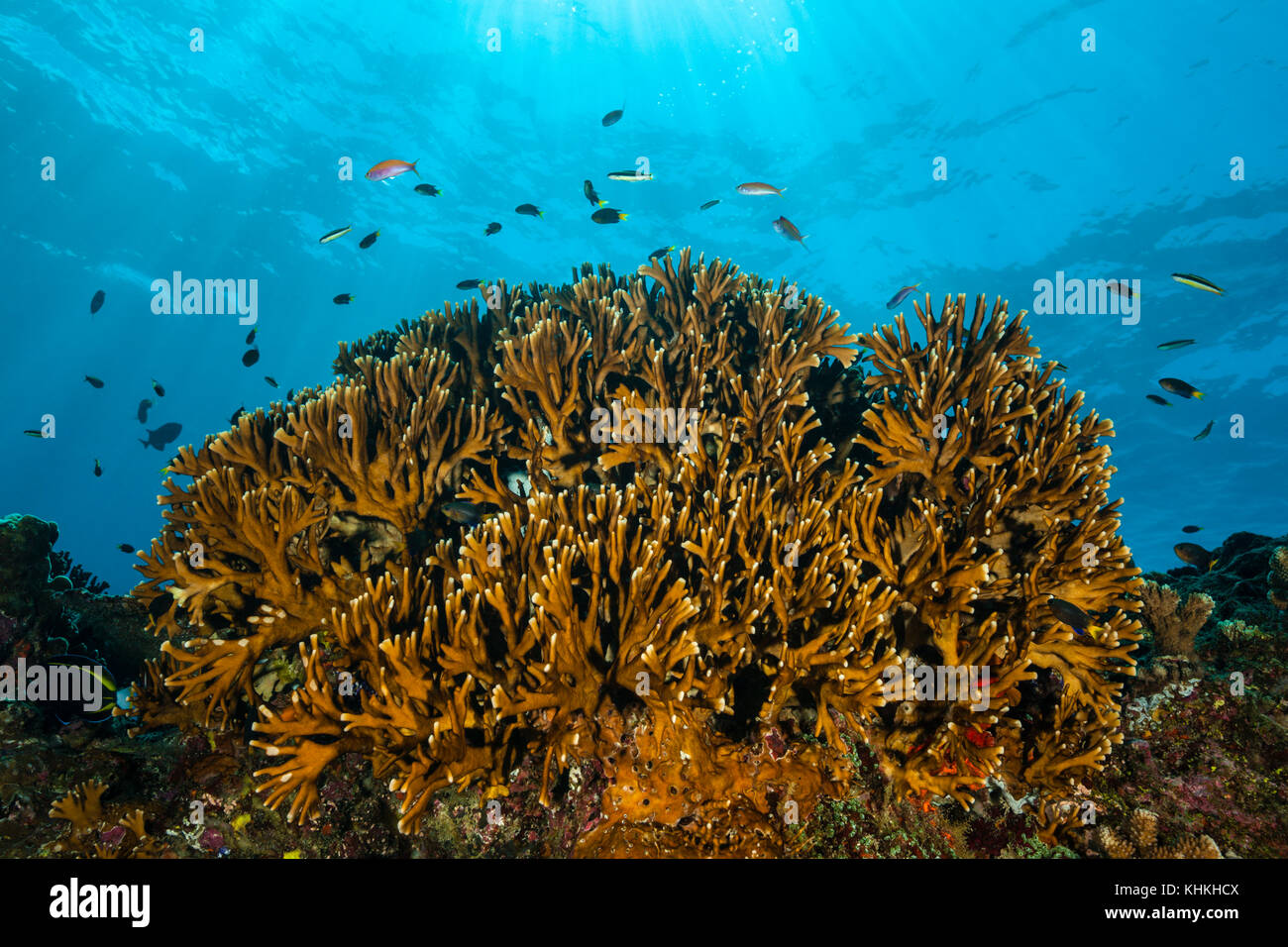Fire Coral in Coral Reef, Millepora sp., Christmas Island, Australia - Stock Image
