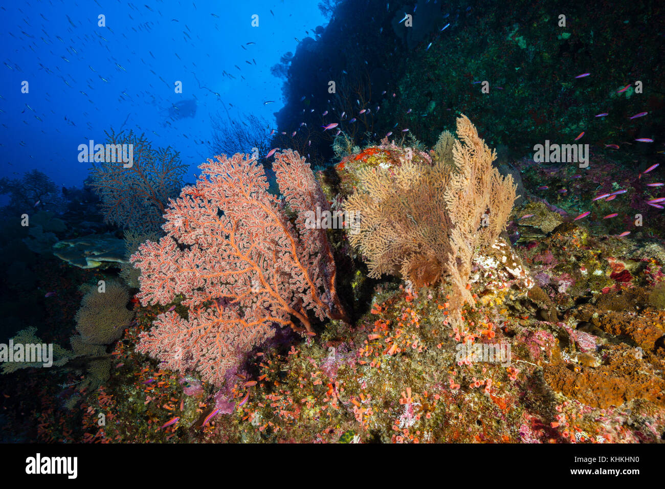 Coral Reef of Sea Fans, Gorgonaria, Christmas Island, Australia Stock Photo