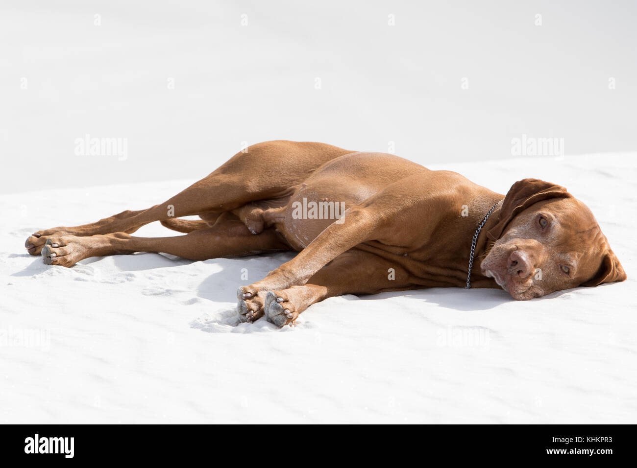 dog in White Sands New Mexico - Stock Image