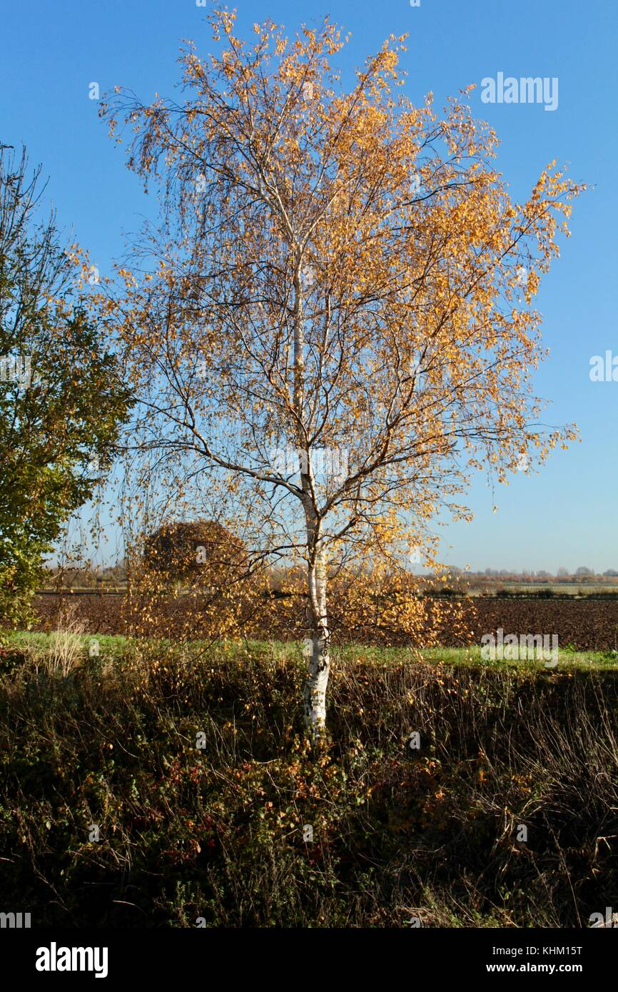 Single silver birch in Autumn sunshine with leaves catching the sun growing out of a drainage ditch in rura; cambridgeshire. - Stock Image