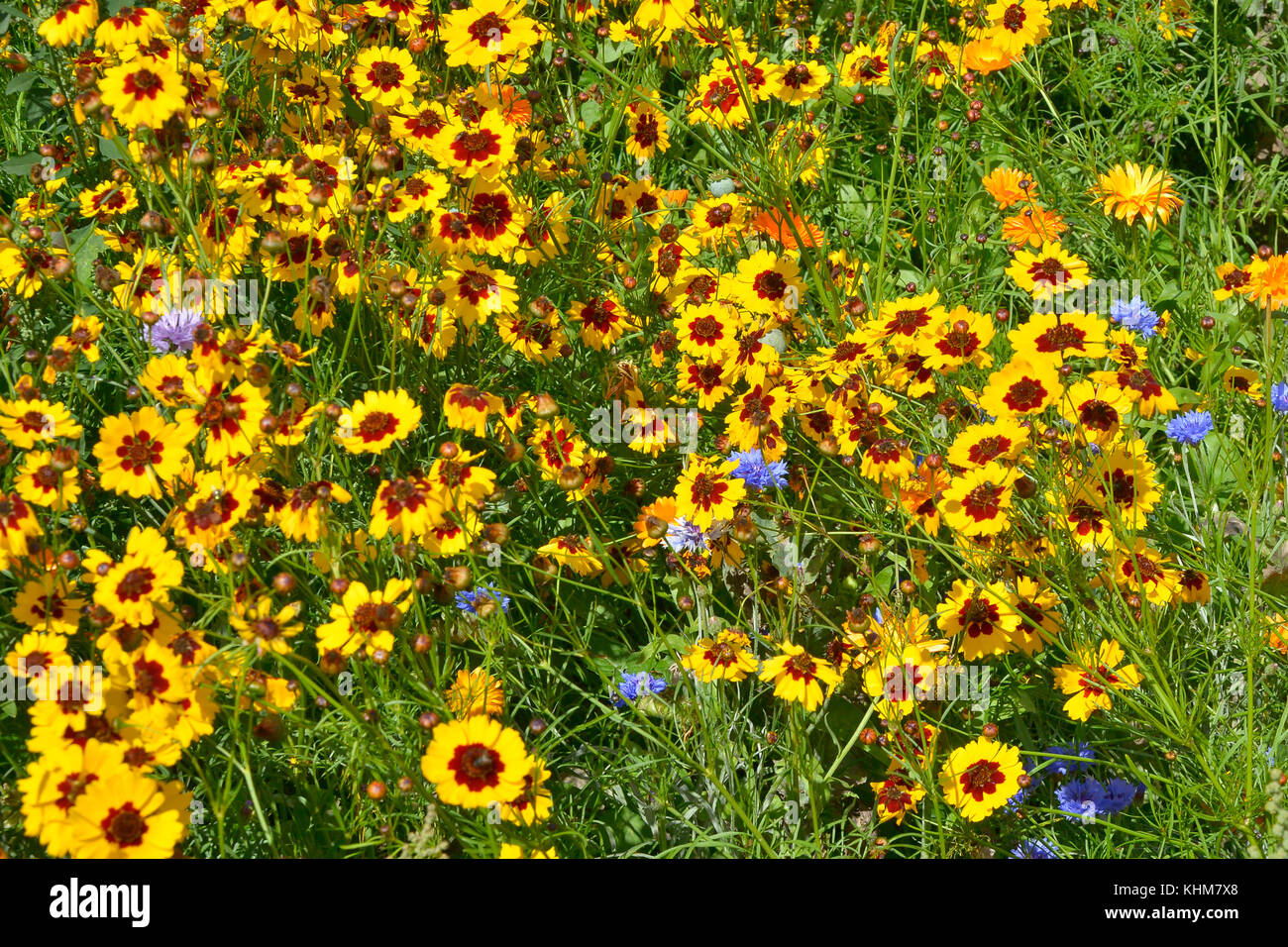 A golden naturaly planted flower meadow with Coreopsis , Cornflowers and marigolds Stock Photo