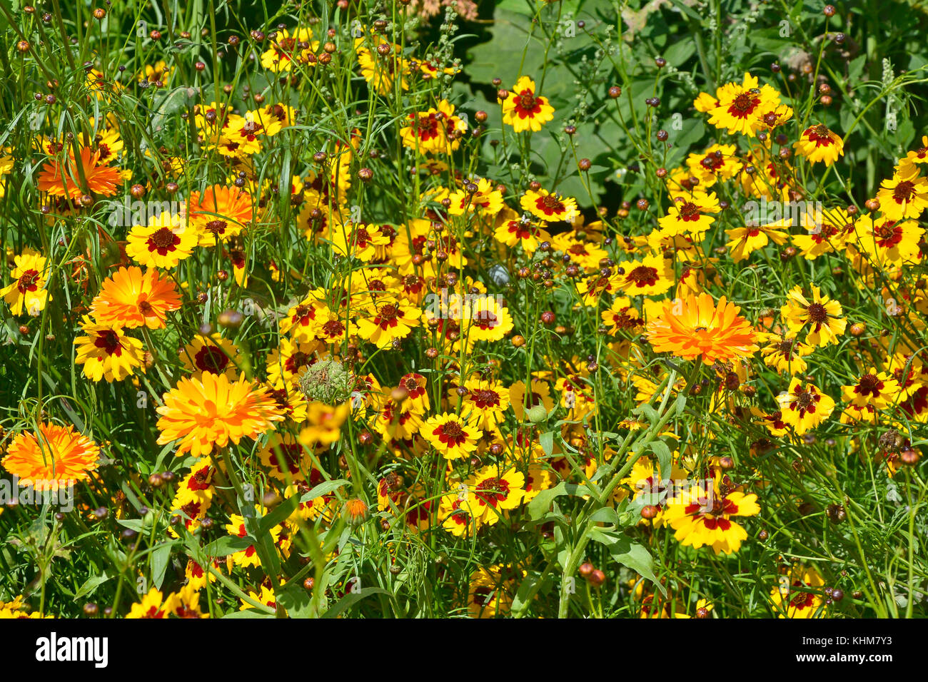 A golden naturaly planted flower meadow with Coreopsis  and marigolds Stock Photo