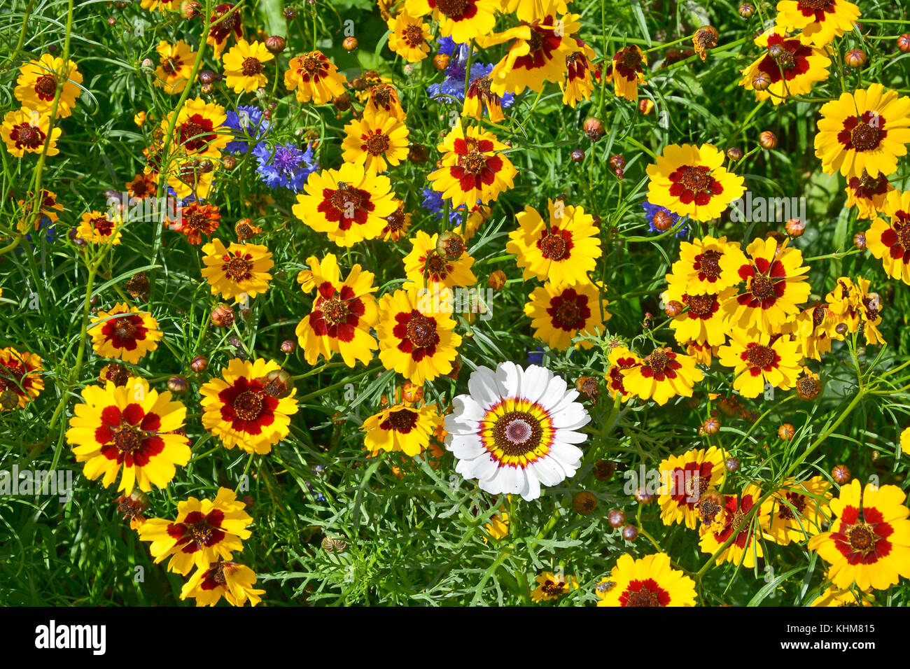 A golden naturaly planted flower meadow with Coreopsis , Cornflowers Stock Photo