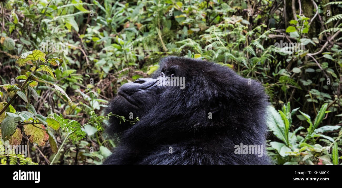 portrait of mountain gorilla in forest clearing in Rwanda - Stock Image