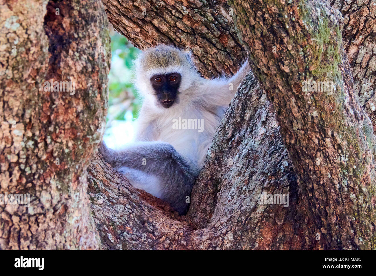 Vervet monkey in a tree tanzania - Stock Image