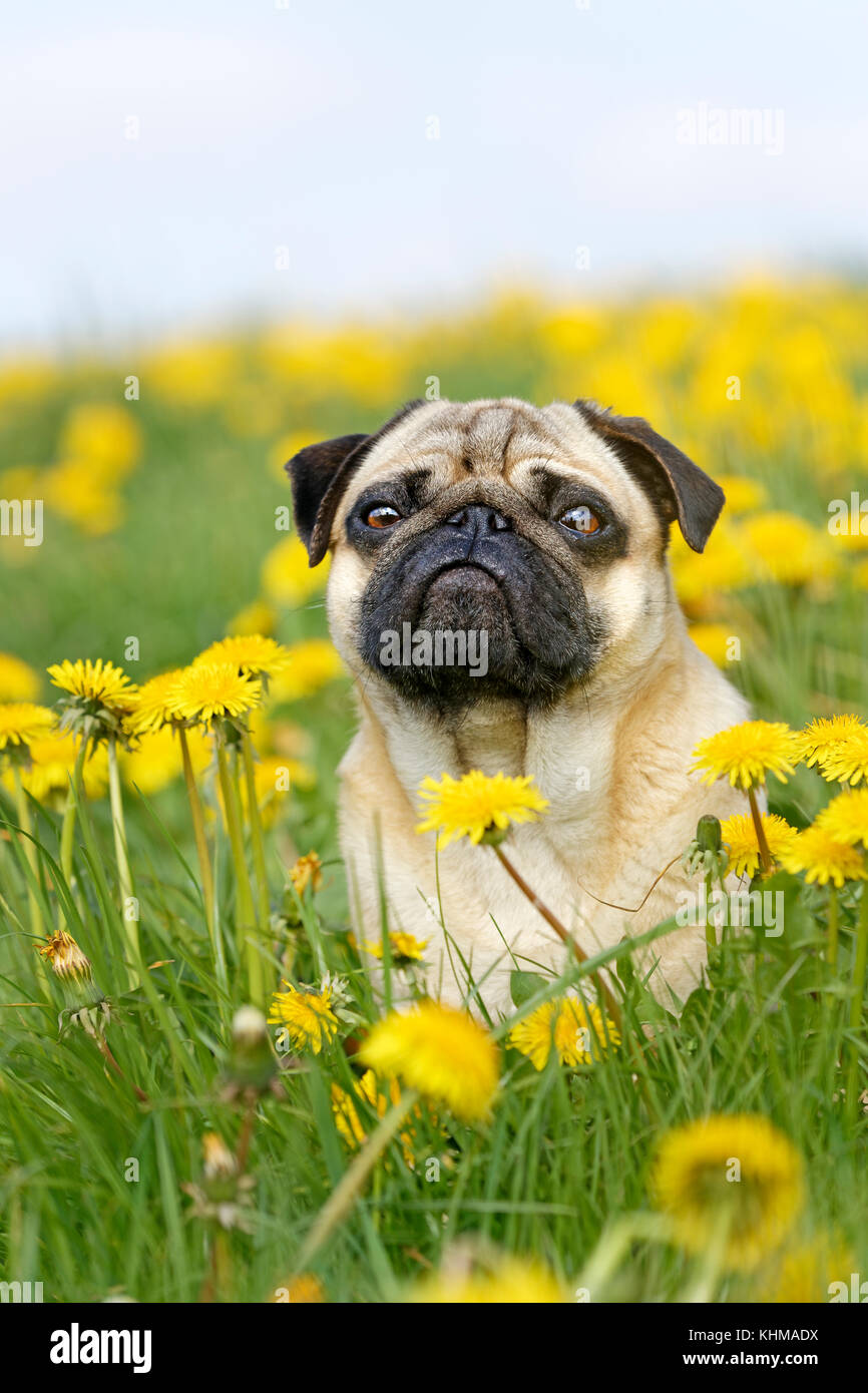 Pug lying in meadow with dandelions, Germany, Europe - Stock Image