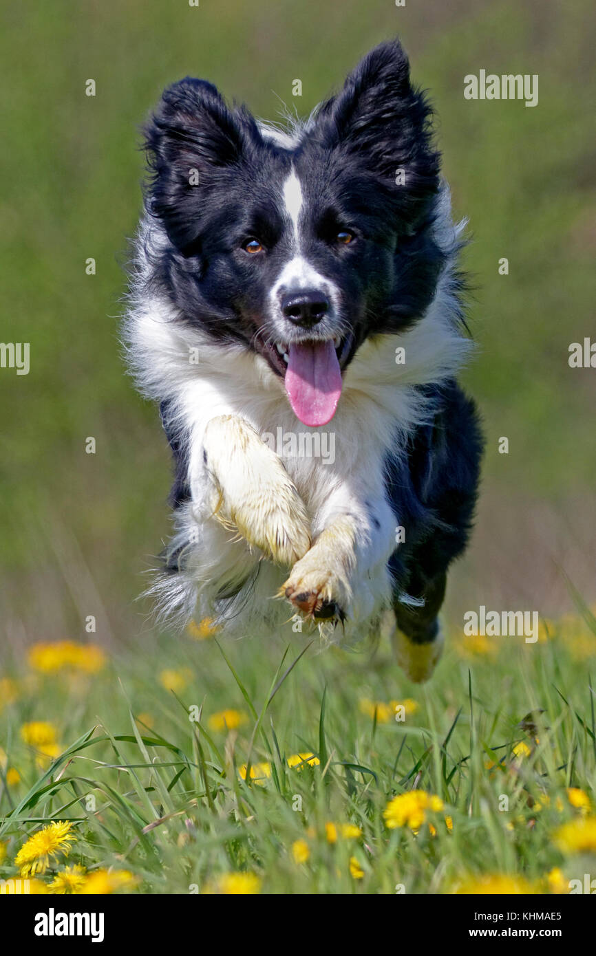 Border collie, running on a meadow with dandelions, Germany, Europe - Stock Image