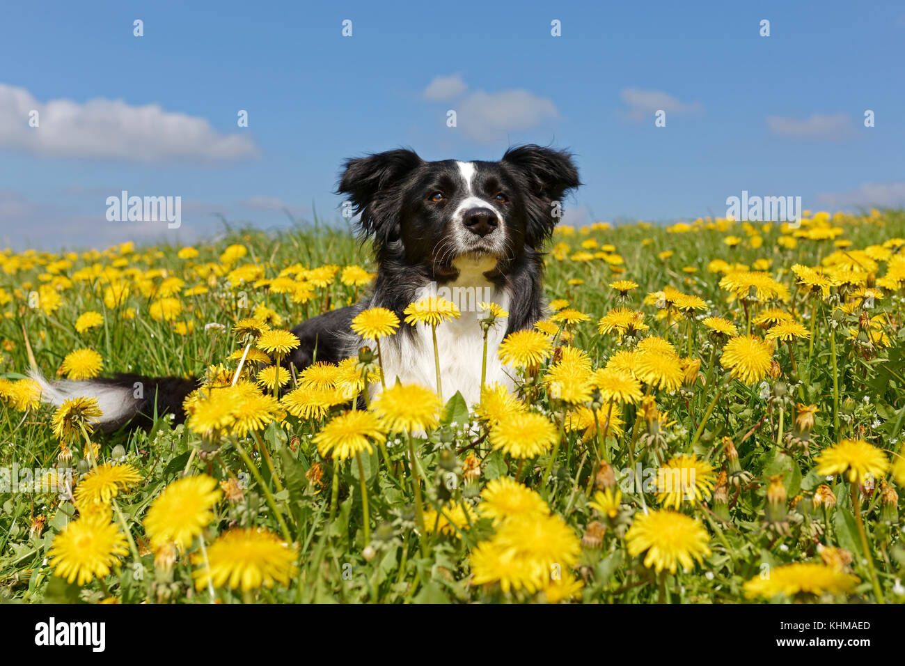 Border collie, lies in a meadow with dandelions, Germany, Europe - Stock Image