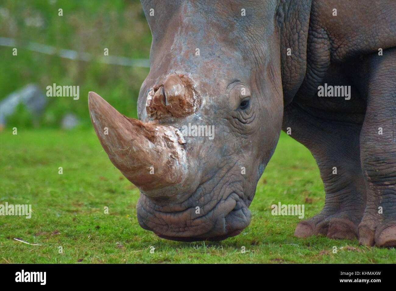 southern white rhinoceros - Stock Image