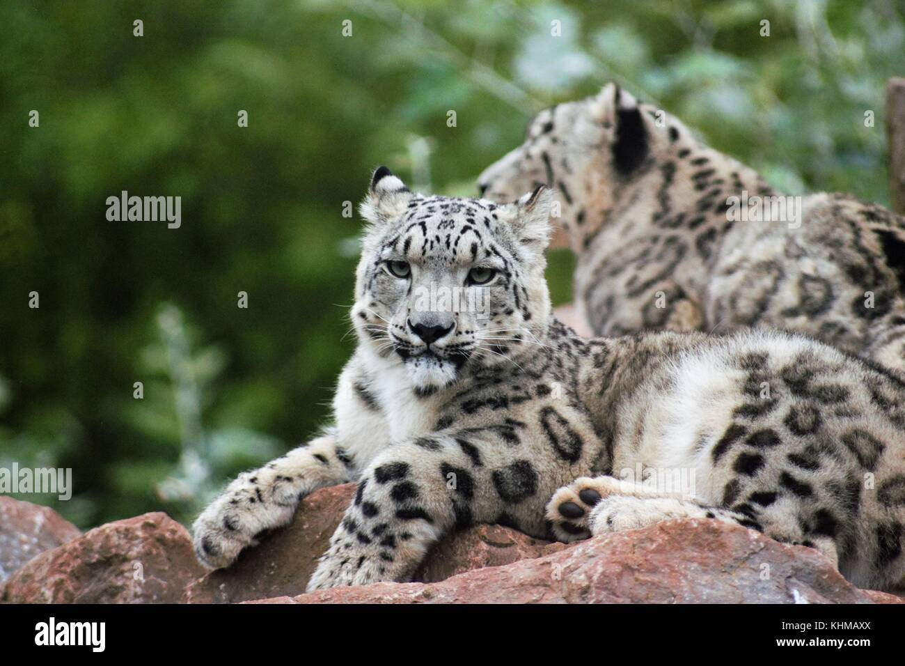 Snow Leopards - Stock Image