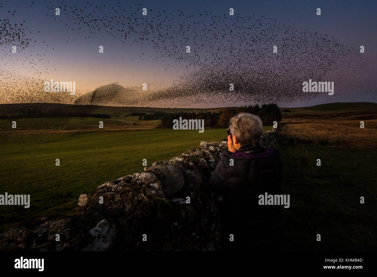 Woman photographing the beautiful shape of a starling murmuration winter roost in the evening sunset sky - Stock Image