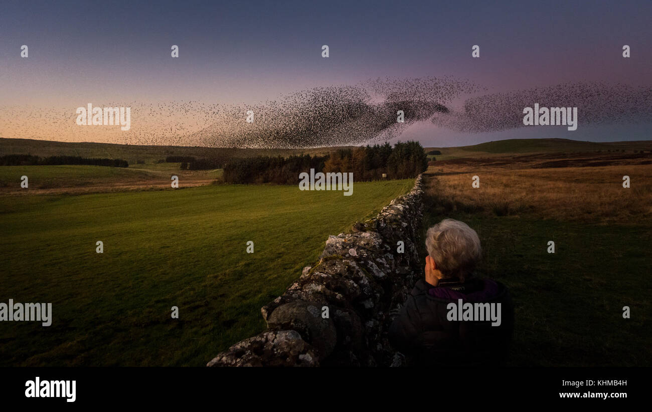 Person photographing the beautiful shapes of a huge starling murmuration winter roost in the evening sunset sky - Stock Image