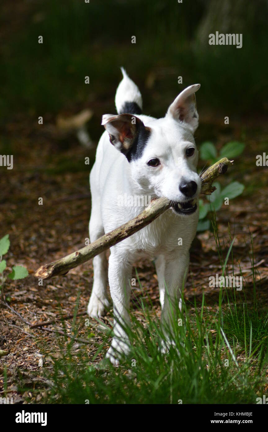 jack Russell dog playing on bank in wood with stick - Stock Image