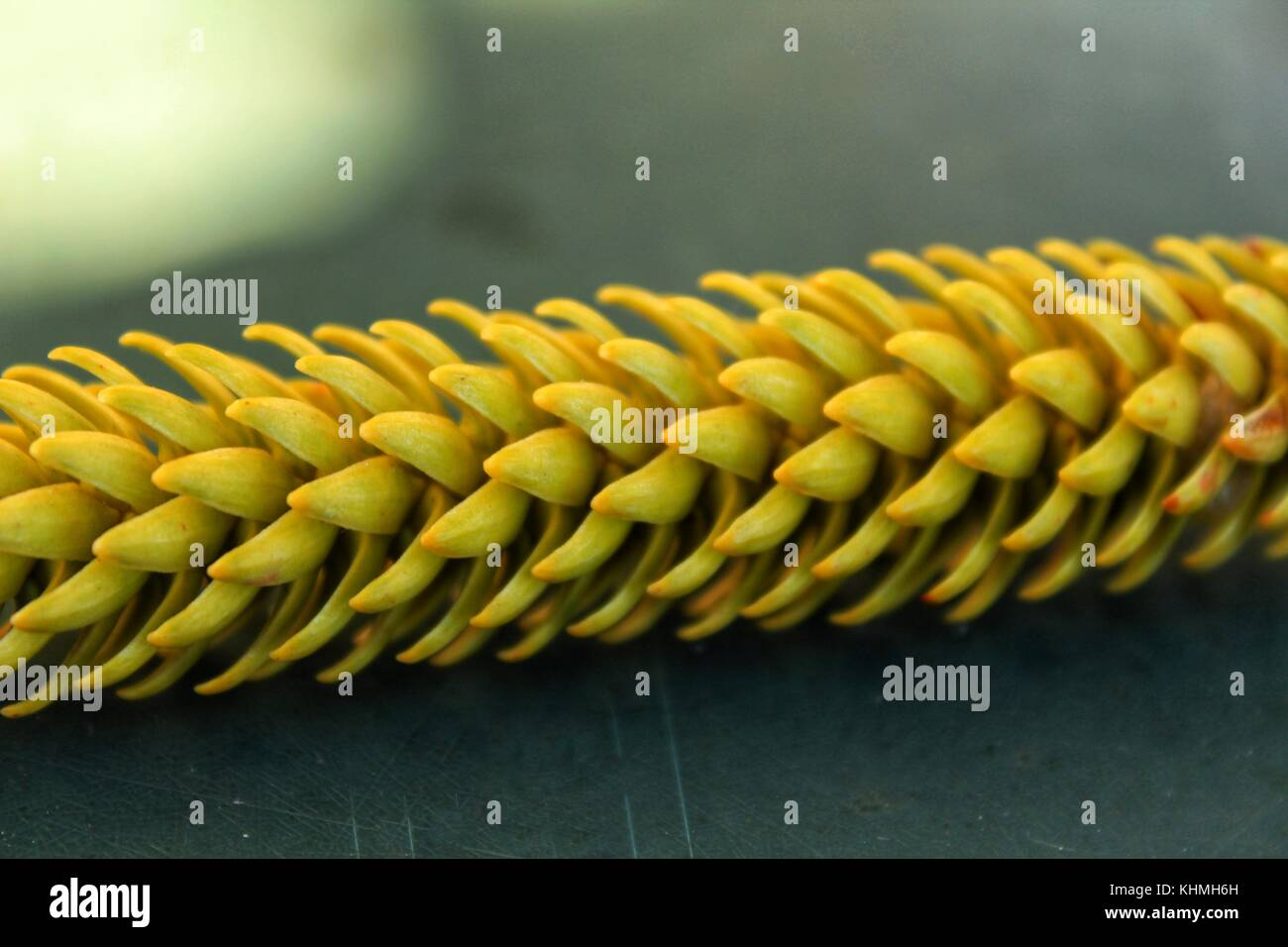 Colorful conifer branch - Stock Image