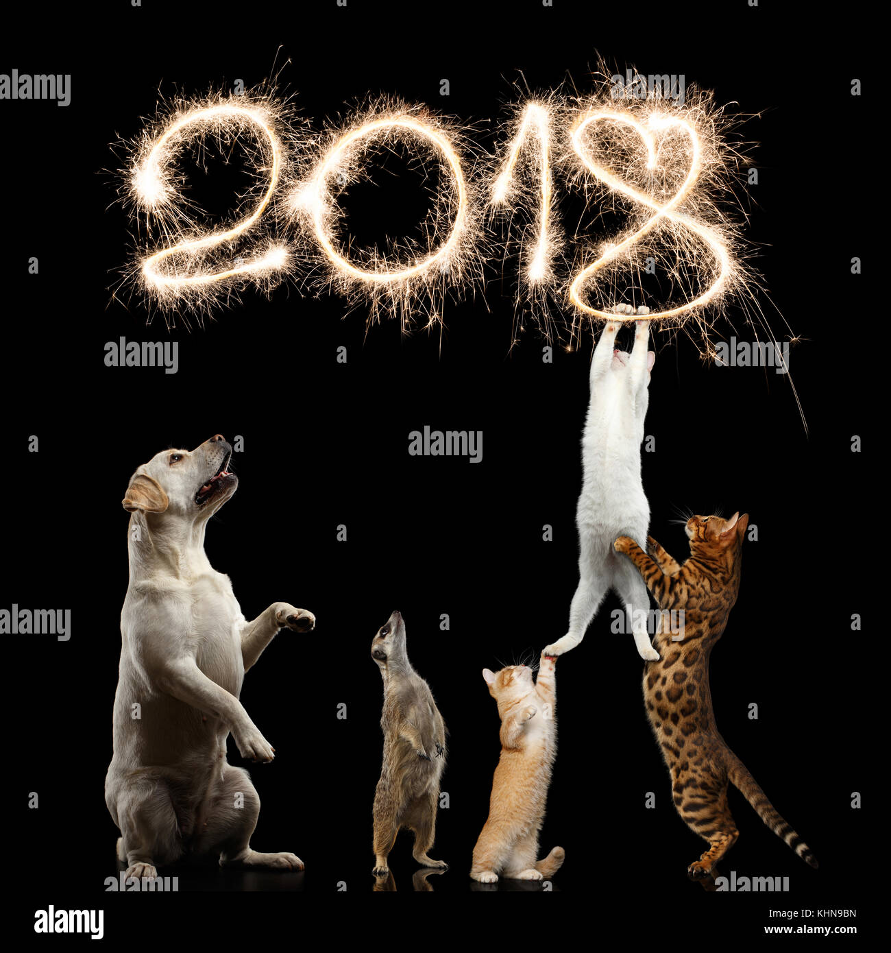 Cats, Dog and meerkat preparing for the new 2018 year, decorate sparklers digits or kitties want to steal Christmas, - Stock Image