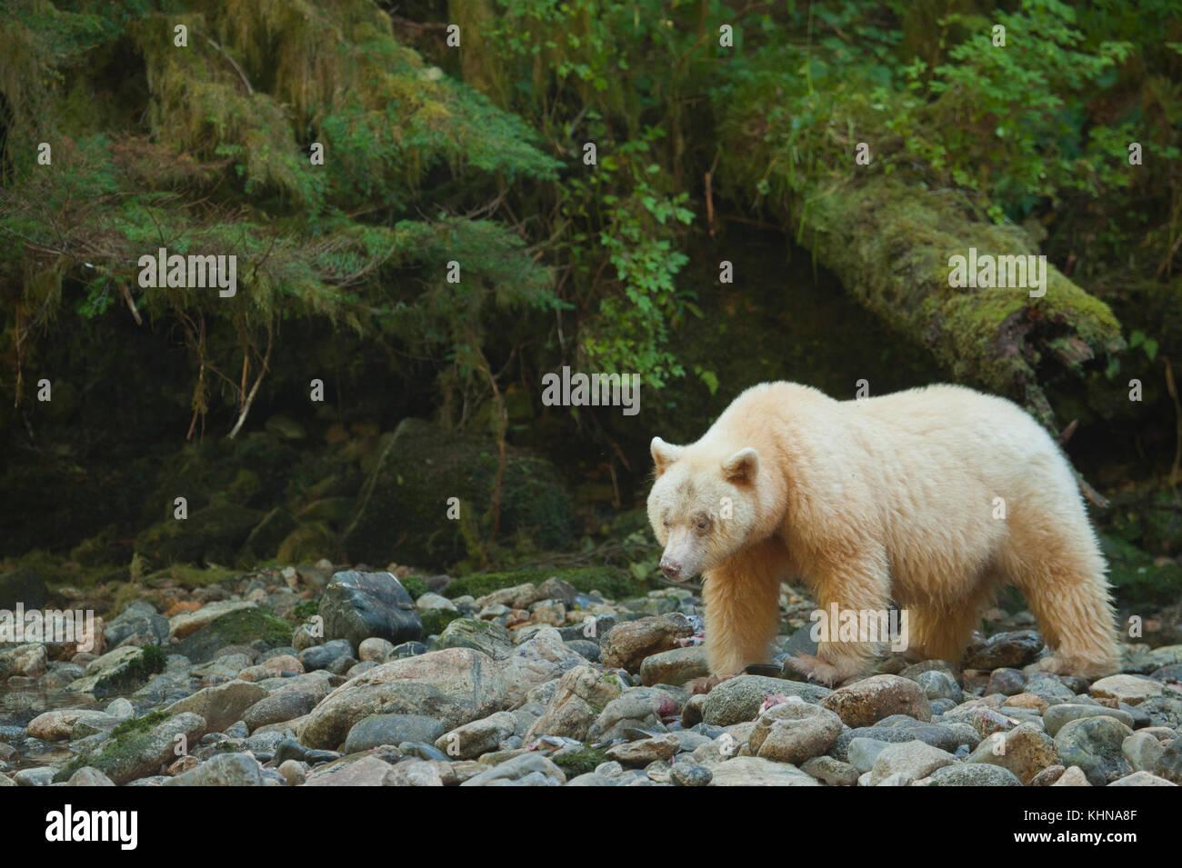 """Kermode or """"Spirit"""" bear (Ursus americanus kermodei), White form of American Black Bear, Great Bear Rainforest, Stock Photo"""