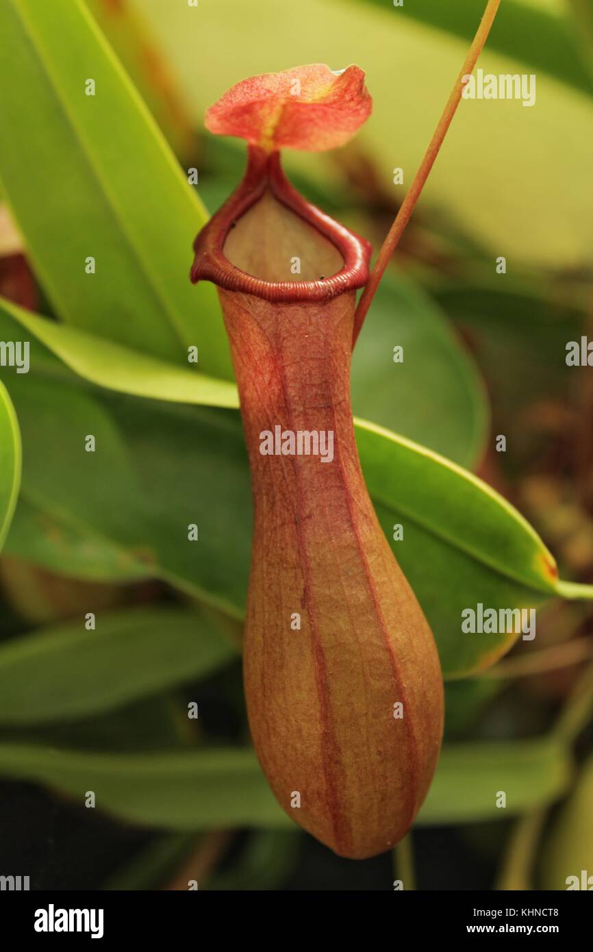 Nepenthes alata - Stock Image