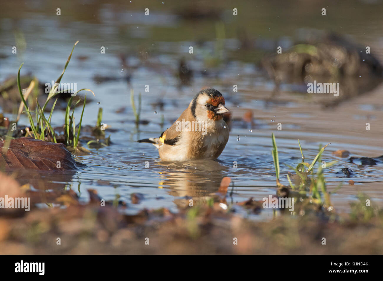 Goldfinch bathing in puddle - Stock Image