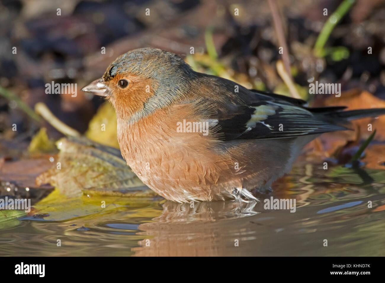 Male chaffinch Fringilla coelets bathing in puddle - Stock Image