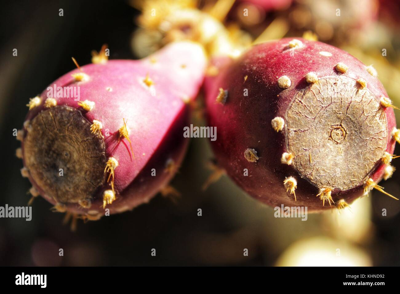 Prickly pears growing in the cactus - Stock Image
