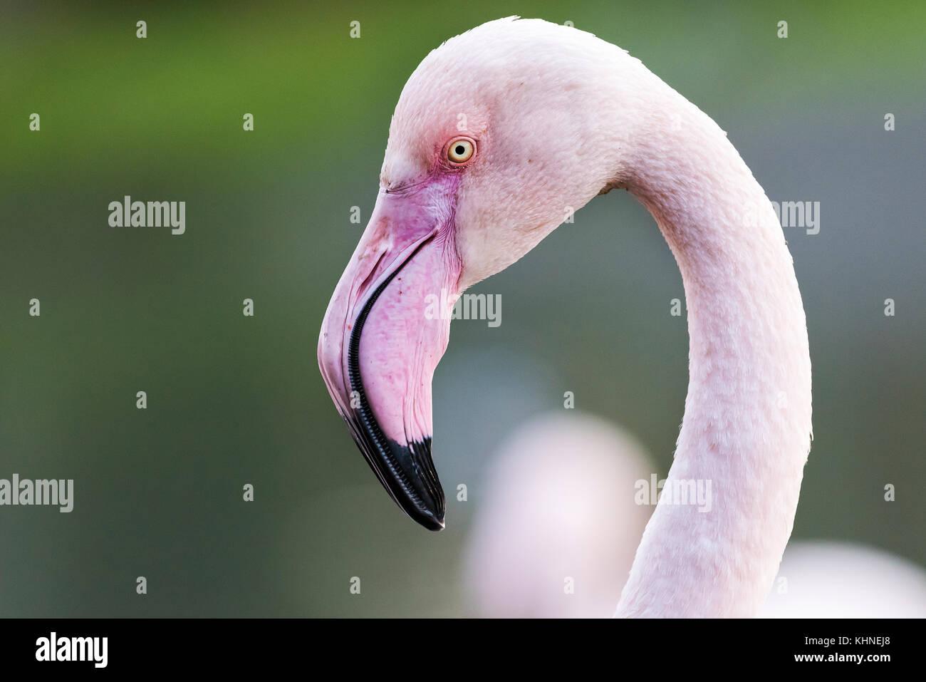 Greater Flamingos - Stock Image