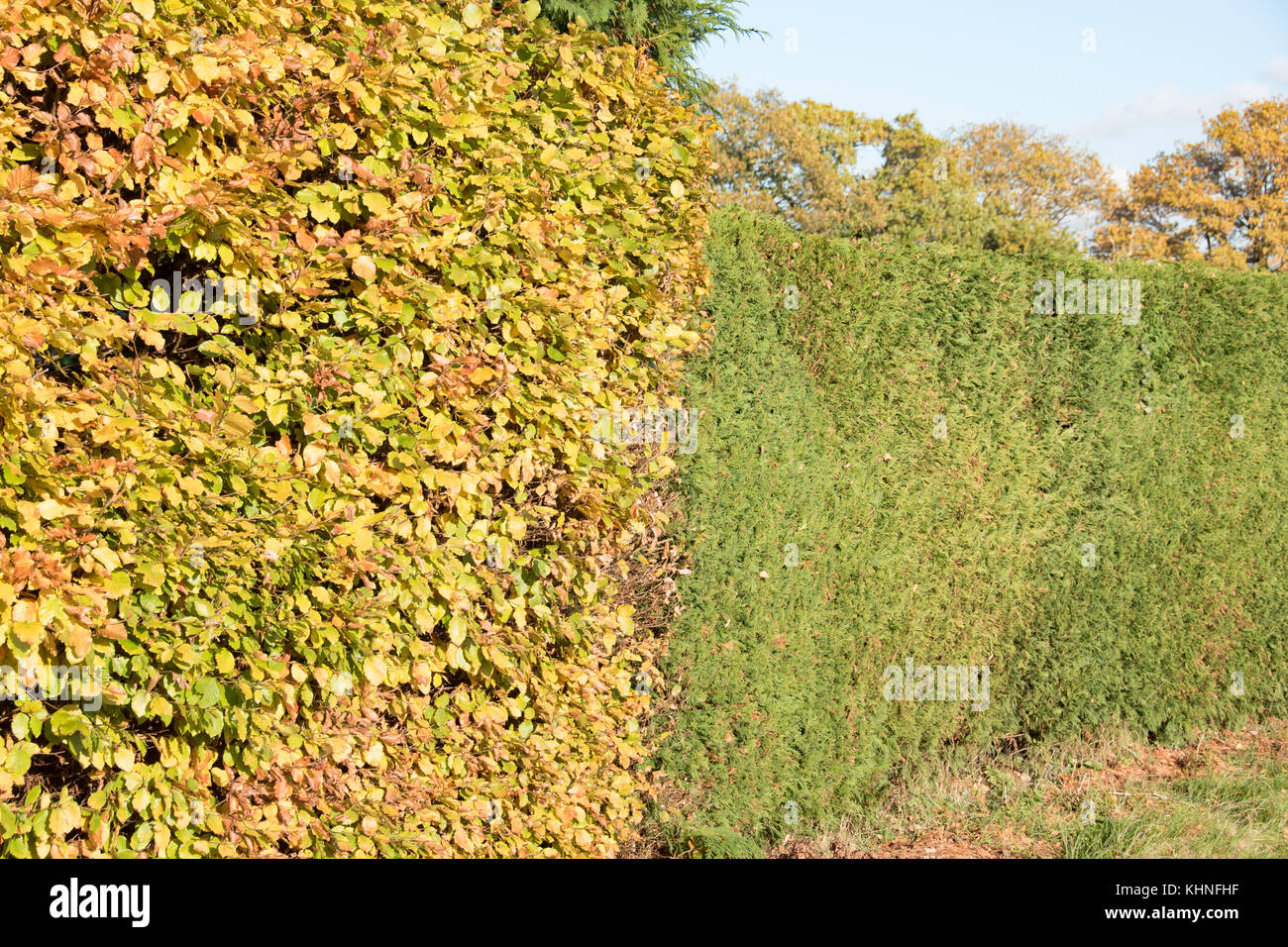 Contrasting beech and conifer hedging - Stock Image