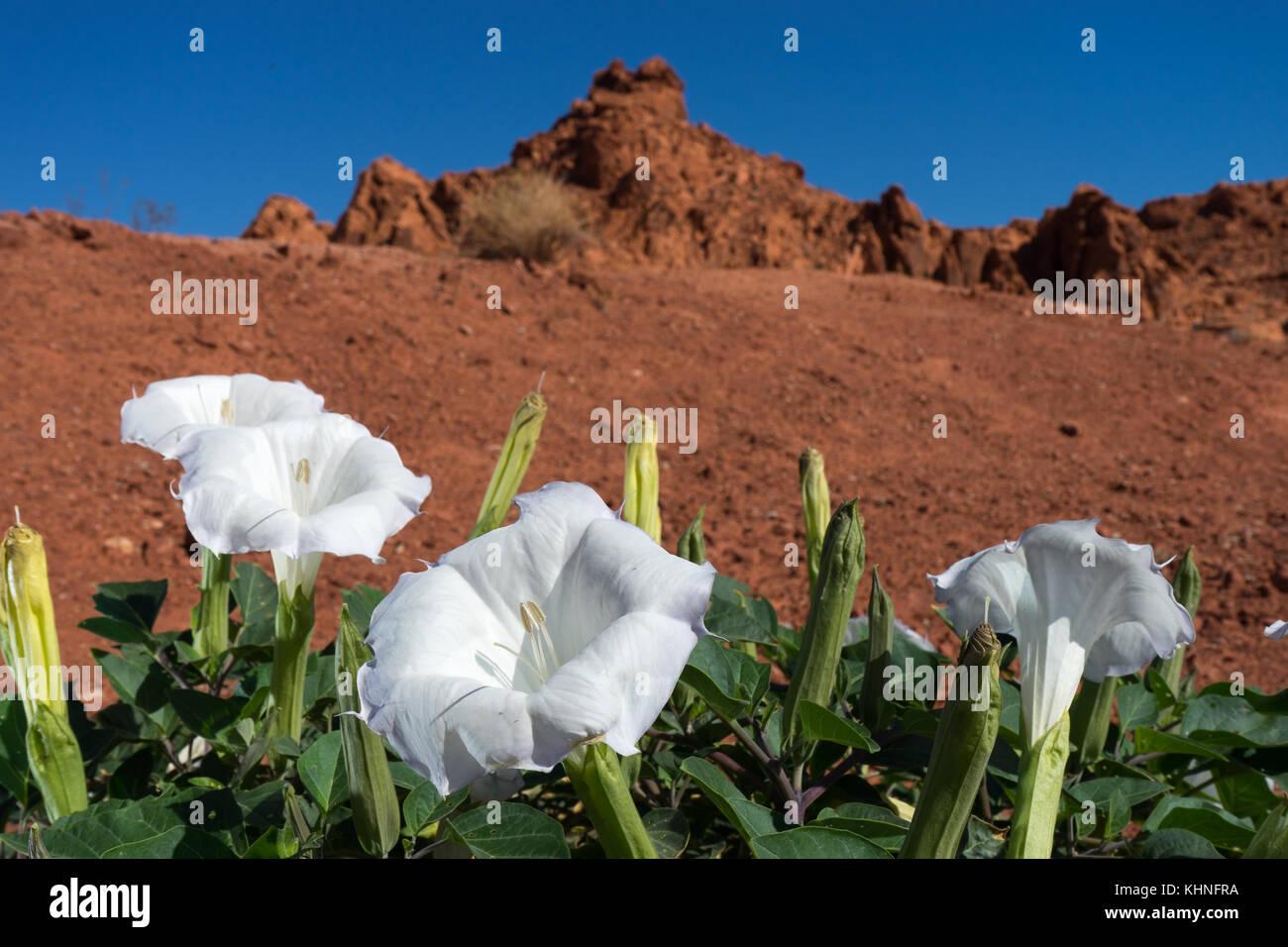 White desert flowers stock photos white desert flowers stock white desert flowers in the valley of fire nevada stock image mightylinksfo