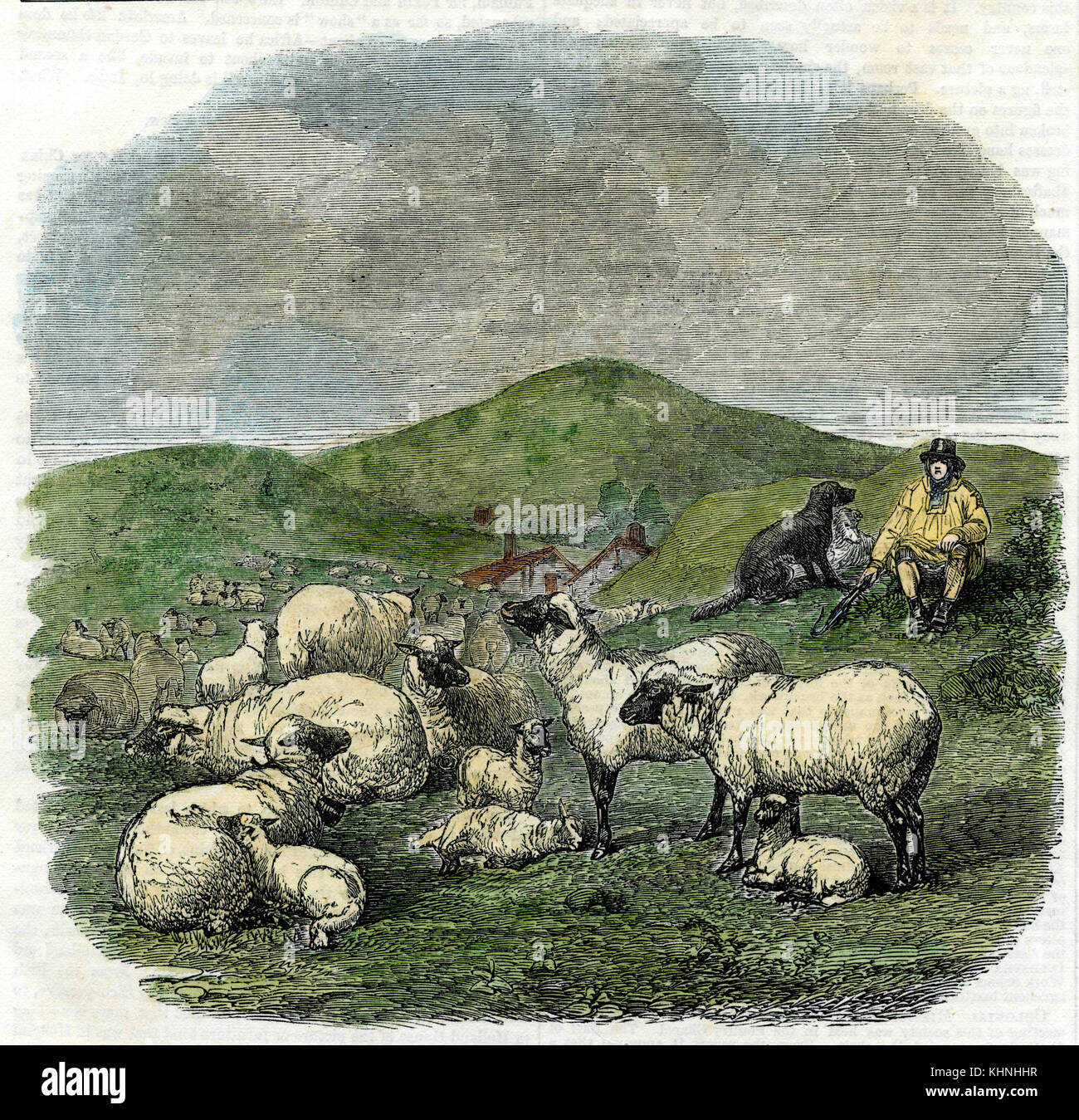 Sheep. Painted by Herring. From: Illustrated London News (Schafe. Gemalt von Herring. Aus: Illustrated London News) - Stock Image