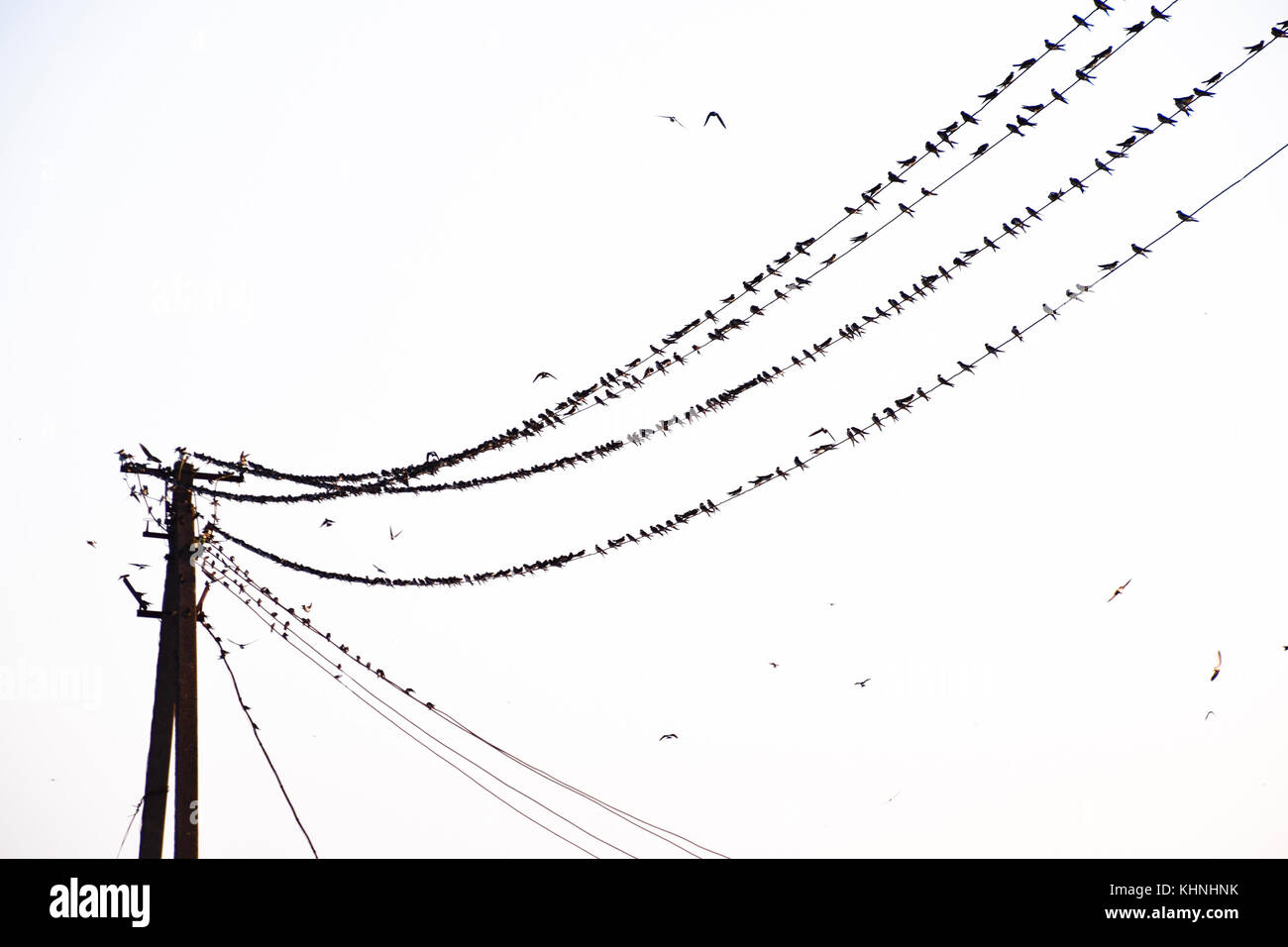 Swallows On Telephone Line Stock Photos & Swallows On Telephone Line ...