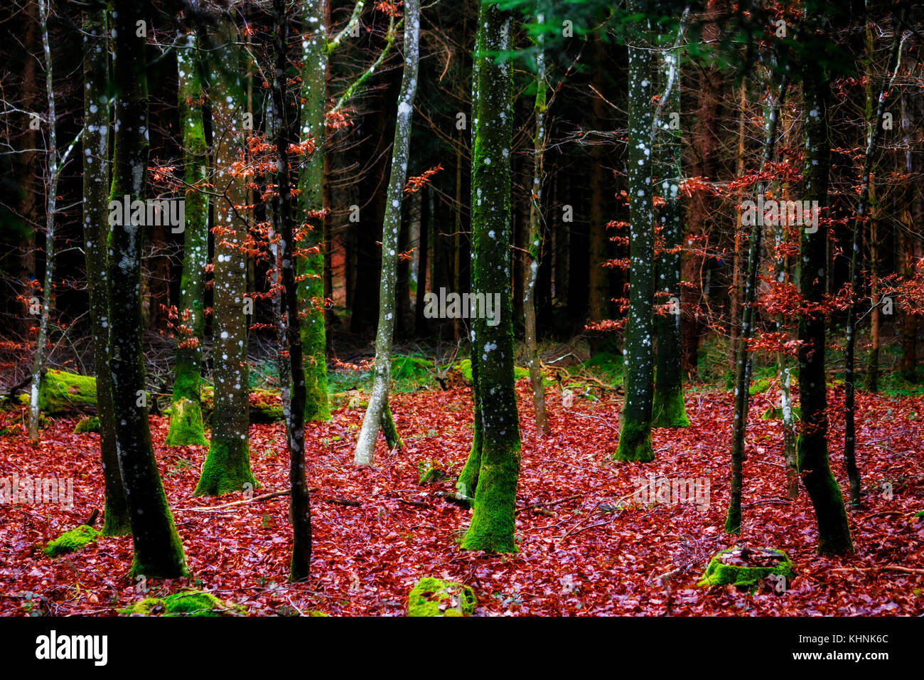 Colorful autumn forest. Seasonal, peaceful concept. Contrast of vivid colors. - Stock Image