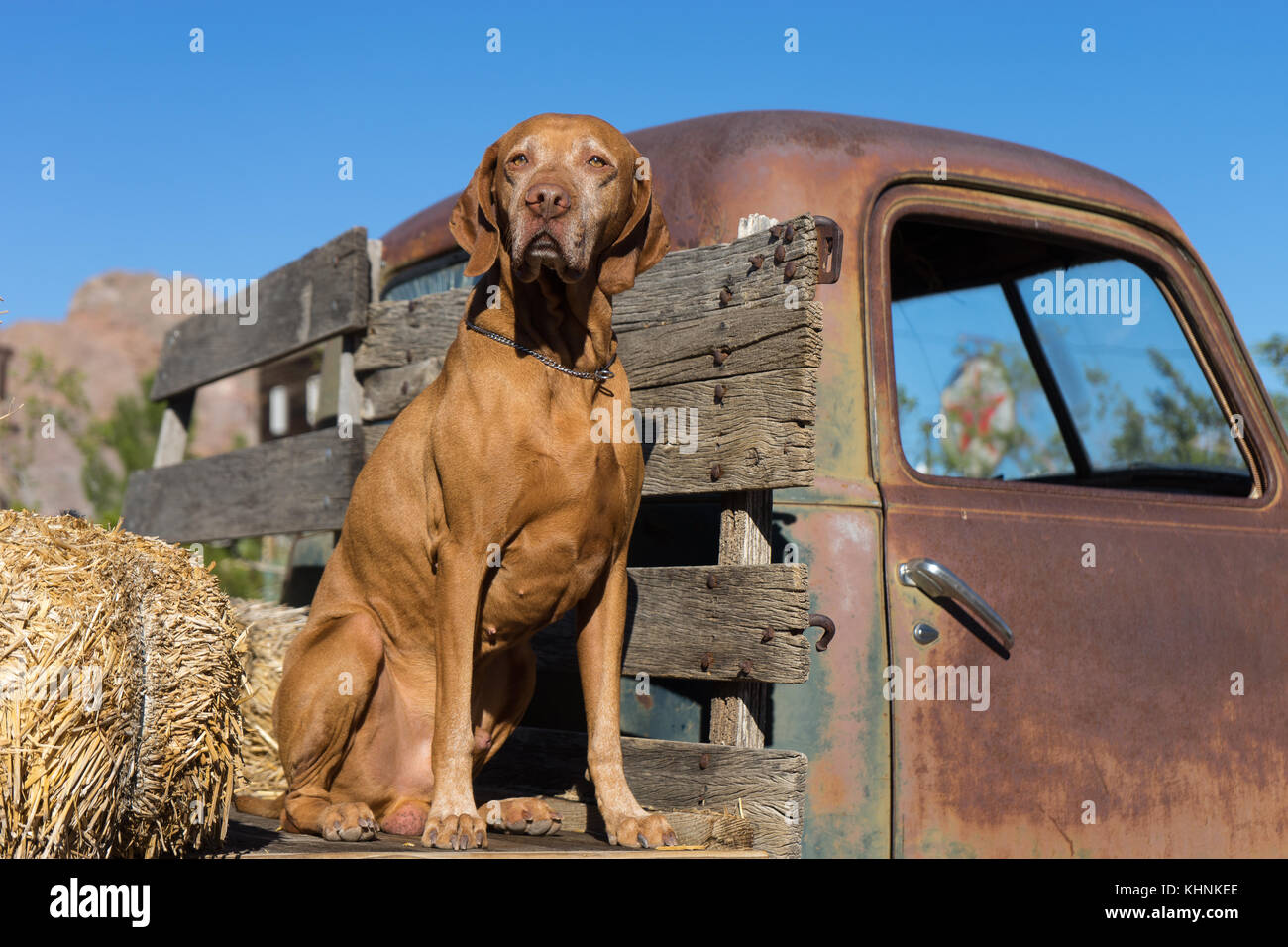 vizsla dog sitting on vintage truck - Stock Image