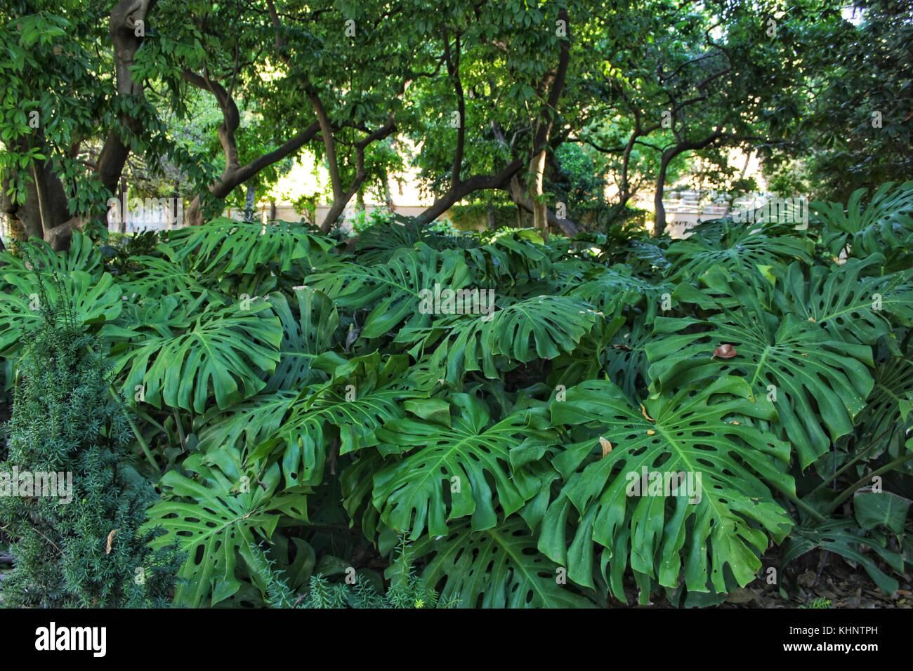 Beautiful monstera deliciosa in the garden - Stock Image