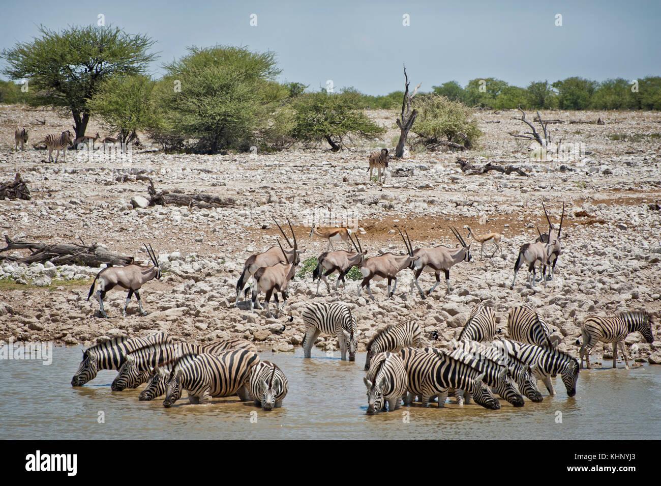 Faune sauvage du parc national d'Etosha. Mars 2013 - Stock Image