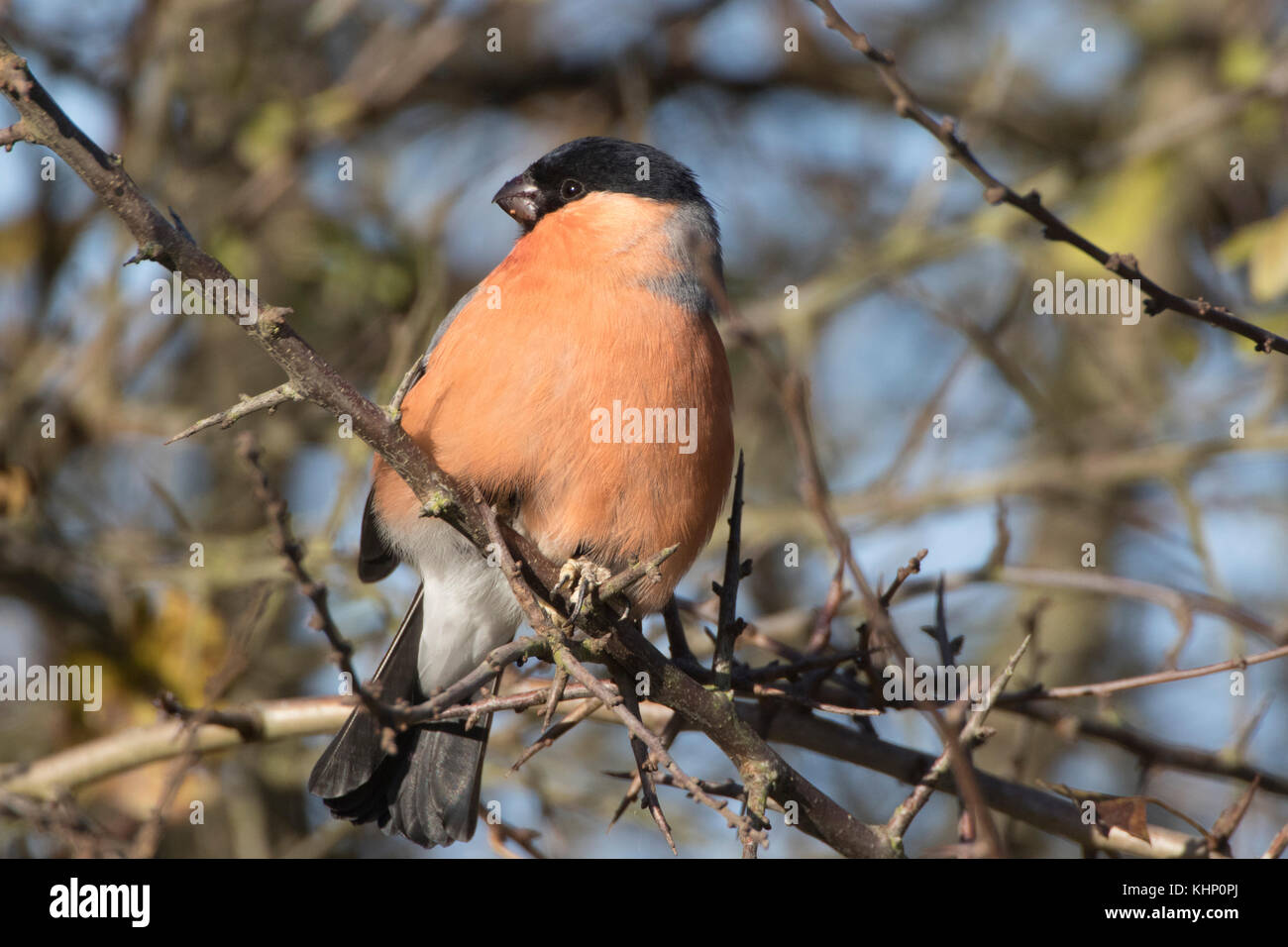 Male Bullfinch Pyrrhula pyrrhula in autumn in hawthorn tree red berries - Stock Image