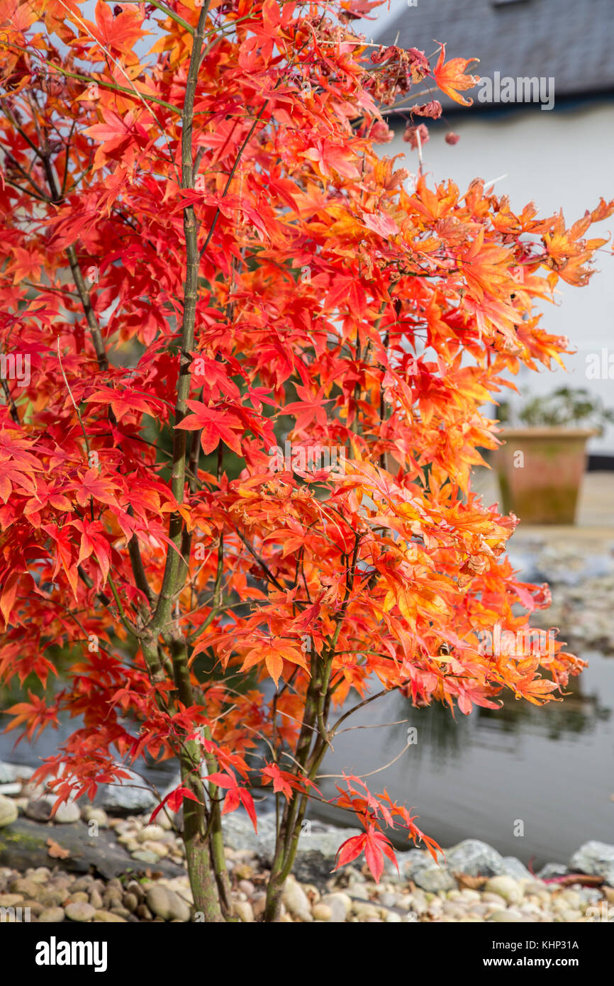 Fading Glory As Autumn Turns To Winter The Leaves Of Acer Palmatum