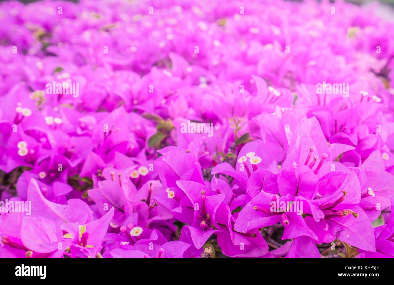 Purple Paper Flower Bush Stock Photos Purple Paper Flower Bush