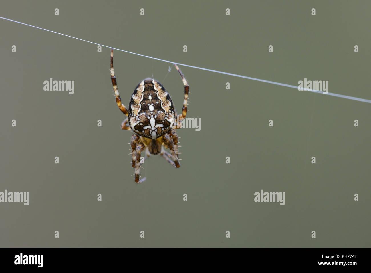 Garden Spider (web), on single strand of web - Stock Image