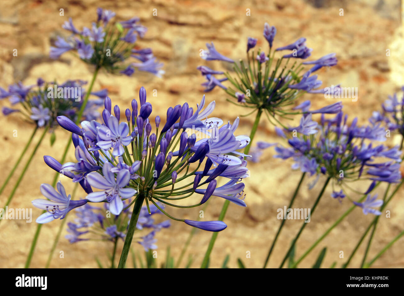 Blue flowers on the dry field in Guatemala - Stock Image