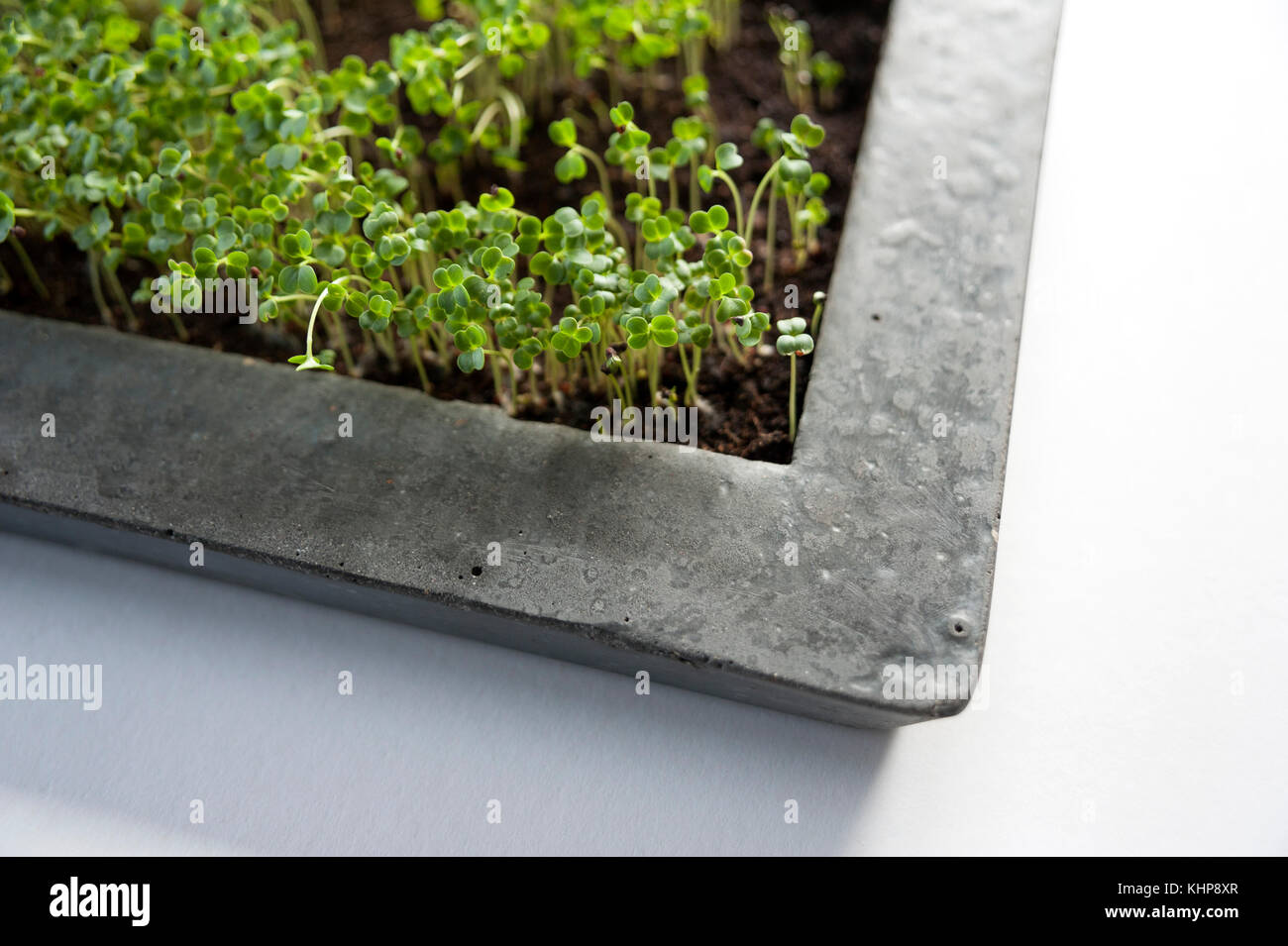 Cress Plants in Concrete Bowl - Stock Image