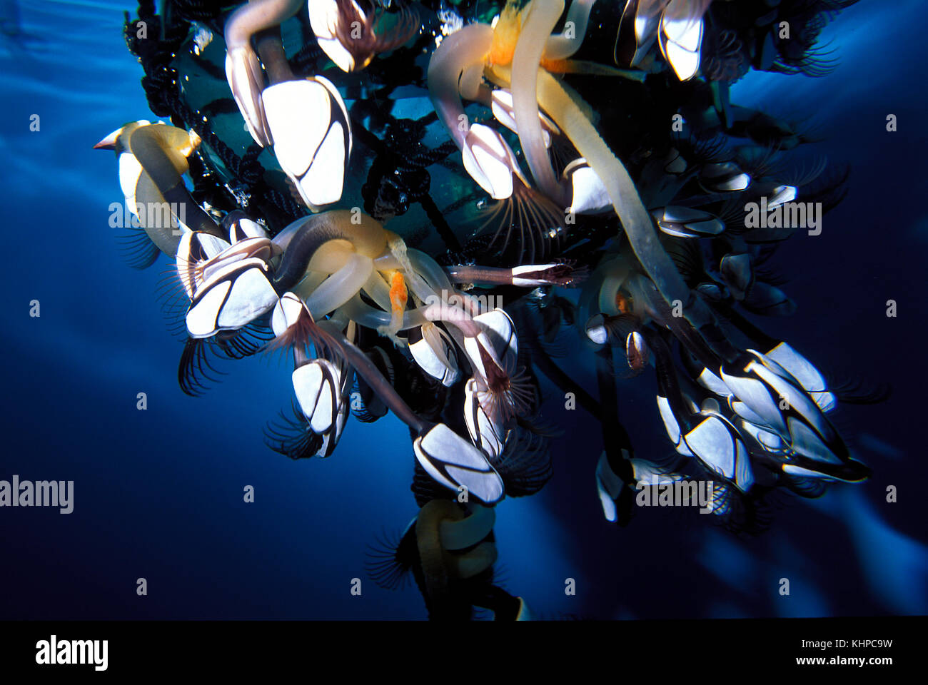Gooseneck barnacles attached to a float Stock Photo