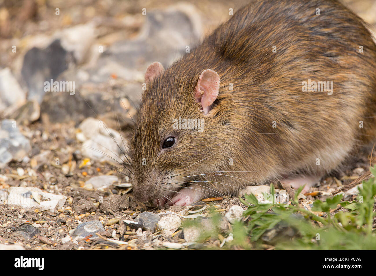 Rat brown feeding under bird feeders at a wildlife reserve. It has some problems with it's ears but otherwise - Stock Image