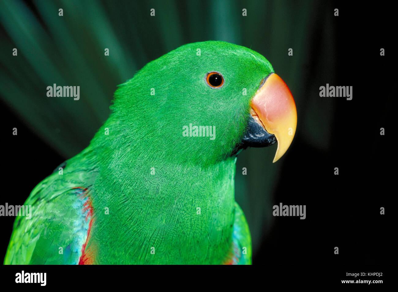 Eclectus Parrot, Eclectus roratus, male Stock Photo