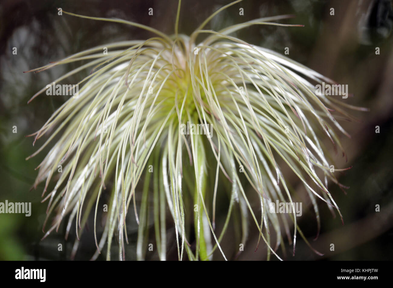 gleaming fruits of a clematis - Stock Image