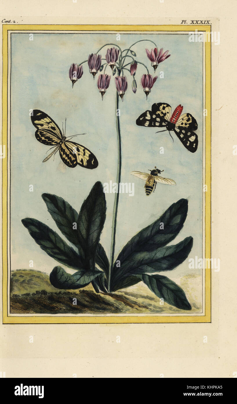 La Mead. Shooting star, Dodecatheon meadia. Handcoloured etching from Pierre Joseph Buchoz' Collection precieuse - Stock Image