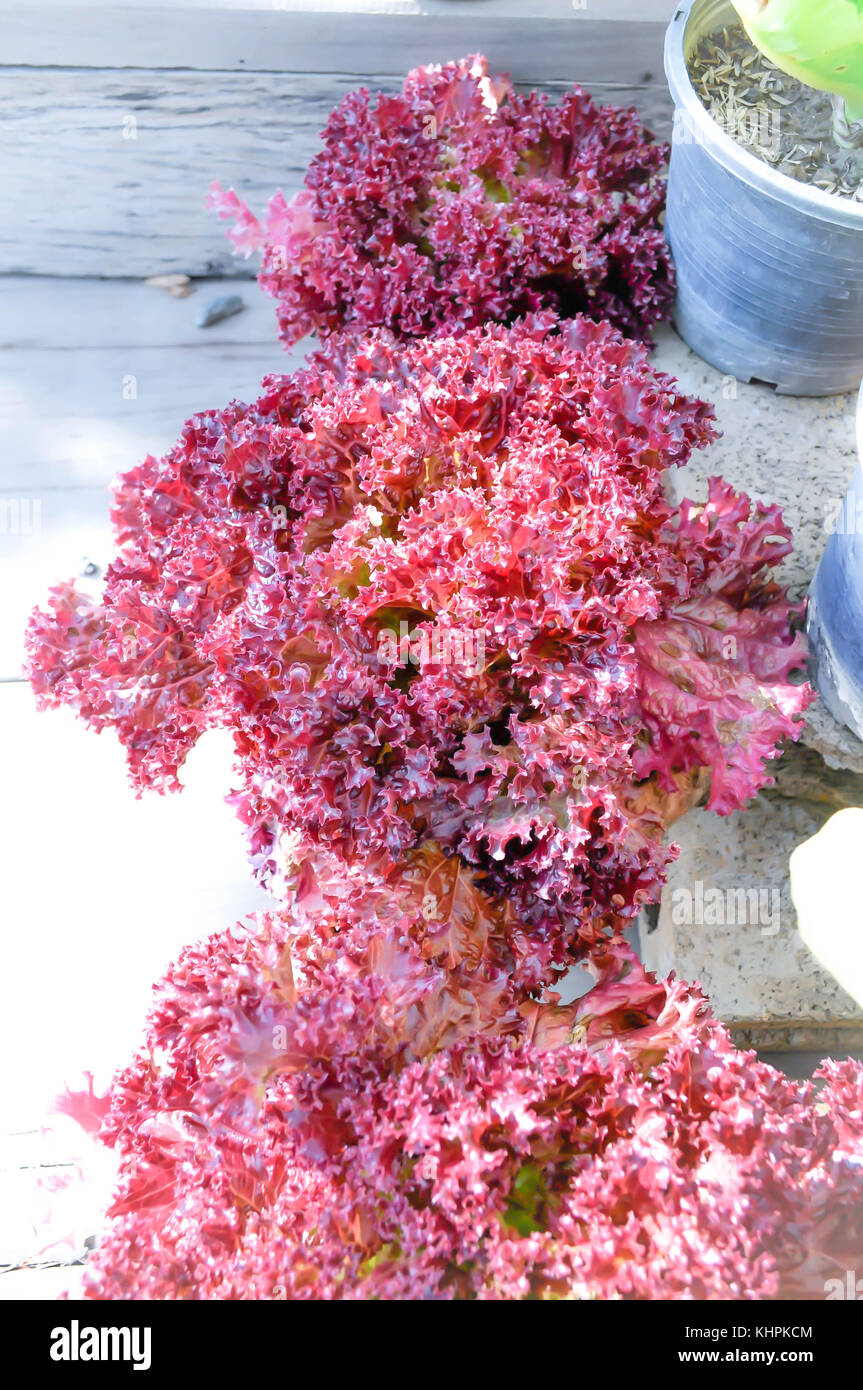Flower pot coral stock photos flower pot coral stock images alamy red coral lettuce in the flowerpot stock image mightylinksfo